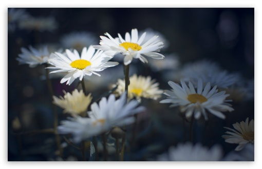 Daisies ❤ 4K UHD Wallpaper for Wide 16:10 5:3 Widescreen WHXGA WQXGA WUXGA WXGA WGA ; 4K UHD 16:9 Ultra High Definition 2160p 1440p 1080p 900p 720p ; UHD 16:9 2160p 1440p 1080p 900p 720p ; Standard 4:3 5:4 3:2 Fullscreen UXGA XGA SVGA QSXGA SXGA DVGA HVGA HQVGA ( Apple PowerBook G4 iPhone 4 3G 3GS iPod Touch ) ; Smartphone 5:3 WGA ; Tablet 1:1 ; iPad 1/2/Mini ; Mobile 4:3 5:3 3:2 16:9 5:4 - UXGA XGA SVGA WGA DVGA HVGA HQVGA ( Apple PowerBook G4 iPhone 4 3G 3GS iPod Touch ) 2160p 1440p 1080p 900p 720p QSXGA SXGA ; Dual 16:10 5:3 16:9 4:3 5:4 WHXGA WQXGA WUXGA WXGA WGA 2160p 1440p 1080p 900p 720p UXGA XGA SVGA QSXGA SXGA ;