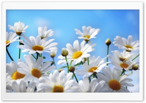 Daisies HD Wide Wallpaper for Widescreen