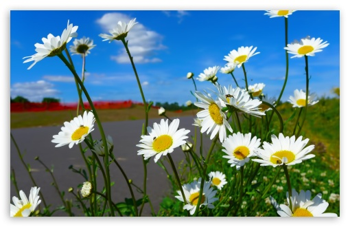 Daisies HD wallpaper for Wide 16:10 5:3 Widescreen WHXGA WQXGA WUXGA WXGA WGA ; HD 16:9 High Definition WQHD QWXGA 1080p 900p 720p QHD nHD ; UHD 16:9 WQHD QWXGA 1080p 900p 720p QHD nHD ; Standard 4:3 5:4 3:2 Fullscreen UXGA XGA SVGA QSXGA SXGA DVGA HVGA HQVGA devices ( Apple PowerBook G4 iPhone 4 3G 3GS iPod Touch ) ; Tablet 1:1 ; iPad 1/2/Mini ; Mobile 4:3 5:3 3:2 16:9 5:4 - UXGA XGA SVGA WGA DVGA HVGA HQVGA devices ( Apple PowerBook G4 iPhone 4 3G 3GS iPod Touch ) WQHD QWXGA 1080p 900p 720p QHD nHD QSXGA SXGA ; Dual 16:10 5:3 16:9 4:3 5:4 WHXGA WQXGA WUXGA WXGA WGA WQHD QWXGA 1080p 900p 720p QHD nHD UXGA XGA SVGA QSXGA SXGA ;