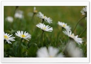 Daisies HD Wide Wallpaper for 4K UHD Widescreen desktop & smartphone