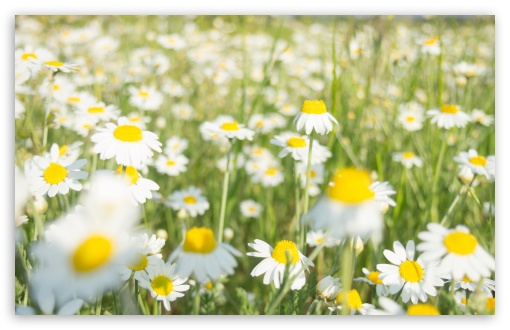 Daisies ❤ 4K UHD Wallpaper for Wide 16:10 5:3 Widescreen WHXGA WQXGA WUXGA WXGA WGA ; 4K UHD 16:9 Ultra High Definition 2160p 1440p 1080p 900p 720p ; Standard 4:3 5:4 3:2 Fullscreen UXGA XGA SVGA QSXGA SXGA DVGA HVGA HQVGA ( Apple PowerBook G4 iPhone 4 3G 3GS iPod Touch ) ; Tablet 1:1 ; iPad 1/2/Mini ; Mobile 4:3 5:3 3:2 16:9 5:4 - UXGA XGA SVGA WGA DVGA HVGA HQVGA ( Apple PowerBook G4 iPhone 4 3G 3GS iPod Touch ) 2160p 1440p 1080p 900p 720p QSXGA SXGA ; Dual 16:10 5:3 16:9 4:3 5:4 WHXGA WQXGA WUXGA WXGA WGA 2160p 1440p 1080p 900p 720p UXGA XGA SVGA QSXGA SXGA ;