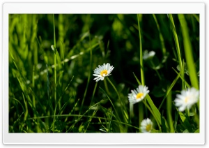Daisies And Green Grass HD Wide Wallpaper for 4K UHD Widescreen desktop & smartphone