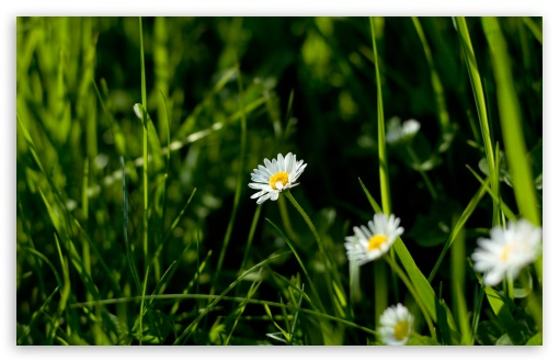 Daisies And Green Grass HD wallpaper for Wide 16:10 5:3 Widescreen WHXGA WQXGA WUXGA WXGA WGA ; HD 16:9 High Definition WQHD QWXGA 1080p 900p 720p QHD nHD ; Standard 4:3 5:4 3:2 Fullscreen UXGA XGA SVGA QSXGA SXGA DVGA HVGA HQVGA devices ( Apple PowerBook G4 iPhone 4 3G 3GS iPod Touch ) ; Tablet 1:1 ; iPad 1/2/Mini ; Mobile 4:3 5:3 3:2 16:9 5:4 - UXGA XGA SVGA WGA DVGA HVGA HQVGA devices ( Apple PowerBook G4 iPhone 4 3G 3GS iPod Touch ) WQHD QWXGA 1080p 900p 720p QHD nHD QSXGA SXGA ; Dual 16:10 5:3 16:9 4:3 5:4 WHXGA WQXGA WUXGA WXGA WGA WQHD QWXGA 1080p 900p 720p QHD nHD UXGA XGA SVGA QSXGA SXGA ;