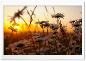 Daisies At Sunset HD Wide Wallpaper for Widescreen