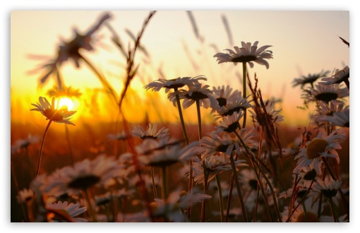 Daisies At Sunset HD wallpaper for Wide 16:10 5:3 Widescreen WHXGA WQXGA WUXGA WXGA WGA ; HD 16:9 High Definition WQHD QWXGA 1080p 900p 720p QHD nHD ; Standard 4:3 5:4 3:2 Fullscreen UXGA XGA SVGA QSXGA SXGA DVGA HVGA HQVGA devices ( Apple PowerBook G4 iPhone 4 3G 3GS iPod Touch ) ; Tablet 1:1 ; iPad 1/2/Mini ; Mobile 4:3 5:3 3:2 16:9 5:4 - UXGA XGA SVGA WGA DVGA HVGA HQVGA devices ( Apple PowerBook G4 iPhone 4 3G 3GS iPod Touch ) WQHD QWXGA 1080p 900p 720p QHD nHD QSXGA SXGA ;