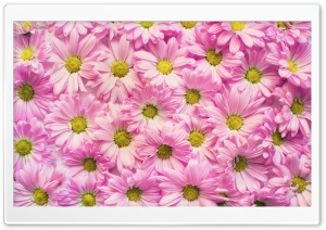 Daisies Background HD Wide Wallpaper for Widescreen