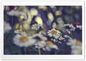 Daisies Bokeh HD Wide Wallpaper for Widescreen