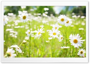 Daisies Field HD Wide Wallpaper for 4K UHD Widescreen desktop & smartphone