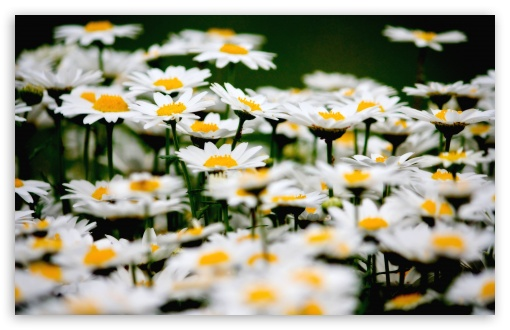Daisies Field HD wallpaper for Wide 16:10 5:3 Widescreen WHXGA WQXGA WUXGA WXGA WGA ; HD 16:9 High Definition WQHD QWXGA 1080p 900p 720p QHD nHD ; UHD 16:9 WQHD QWXGA 1080p 900p 720p QHD nHD ; Standard 4:3 5:4 3:2 Fullscreen UXGA XGA SVGA QSXGA SXGA DVGA HVGA HQVGA devices ( Apple PowerBook G4 iPhone 4 3G 3GS iPod Touch ) ; Smartphone 5:3 WGA ; Tablet 1:1 ; iPad 1/2/Mini ; Mobile 4:3 5:3 3:2 16:9 5:4 - UXGA XGA SVGA WGA DVGA HVGA HQVGA devices ( Apple PowerBook G4 iPhone 4 3G 3GS iPod Touch ) WQHD QWXGA 1080p 900p 720p QHD nHD QSXGA SXGA ;