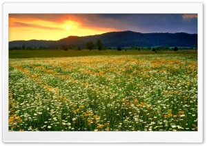 Daisies Field Landscape HD Wide Wallpaper for Widescreen