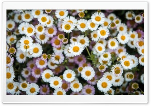 Daisies Flowers Overhead Photography HD Wide Wallpaper for 4K UHD Widescreen desktop & smartphone