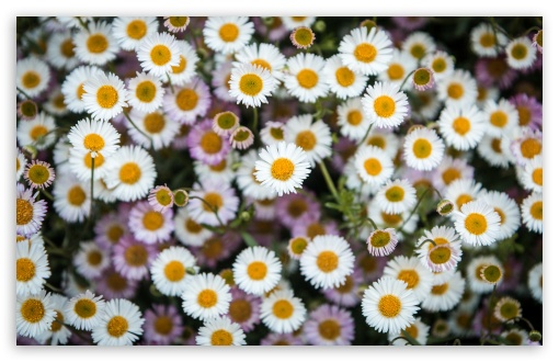 Daisies Flowers Overhead Photography UltraHD Wallpaper for Wide 16:10 5:3 Widescreen WHXGA WQXGA WUXGA WXGA WGA ; UltraWide 21:9 24:10 ; 8K UHD TV 16:9 Ultra High Definition 2160p 1440p 1080p 900p 720p ; UHD 16:9 2160p 1440p 1080p 900p 720p ; Standard 4:3 5:4 3:2 Fullscreen UXGA XGA SVGA QSXGA SXGA DVGA HVGA HQVGA ( Apple PowerBook G4 iPhone 4 3G 3GS iPod Touch ) ; Smartphone 16:9 3:2 5:3 2160p 1440p 1080p 900p 720p DVGA HVGA HQVGA ( Apple PowerBook G4 iPhone 4 3G 3GS iPod Touch ) WGA ; Tablet 1:1 ; iPad 1/2/Mini ; Mobile 4:3 5:3 3:2 16:9 5:4 - UXGA XGA SVGA WGA DVGA HVGA HQVGA ( Apple PowerBook G4 iPhone 4 3G 3GS iPod Touch ) 2160p 1440p 1080p 900p 720p QSXGA SXGA ;