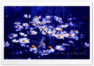 Daisies Group HD Wide Wallpaper for Widescreen