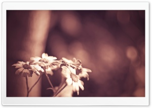 Daisies In Sepia HD Wide Wallpaper for Widescreen