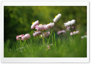 Daisies Meadow HD Wide Wallpaper for Widescreen