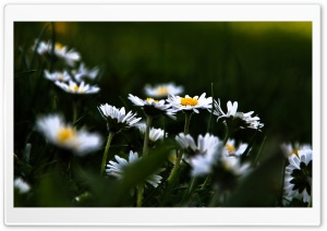 Daisies Meadow Ultra HD Wallpaper for 4K UHD Widescreen desktop, tablet & smartphone