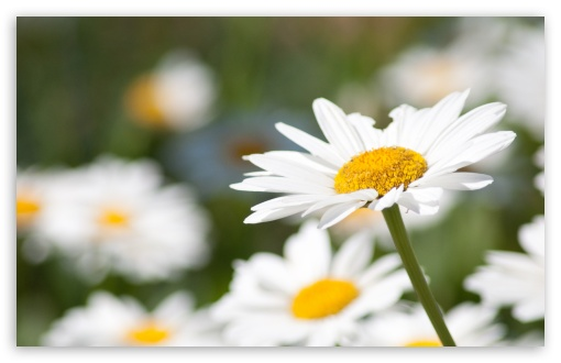 Daisy HD wallpaper for Standard 4:3 5:4 Fullscreen UXGA XGA SVGA QSXGA SXGA ; Wide 16:10 5:3 Widescreen WHXGA WQXGA WUXGA WXGA WGA ; HD 16:9 High Definition WQHD QWXGA 1080p 900p 720p QHD nHD ; Other 3:2 DVGA HVGA HQVGA devices ( Apple PowerBook G4 iPhone 4 3G 3GS iPod Touch ) ; Mobile VGA WVGA iPhone iPad PSP Phone - VGA QVGA Smartphone ( PocketPC GPS iPod Zune BlackBerry HTC Samsung LG Nokia Eten Asus ) WVGA WQVGA Smartphone ( HTC Samsung Sony Ericsson LG Vertu MIO ) HVGA Smartphone ( Apple iPhone iPod BlackBerry HTC Samsung Nokia ) Sony PSP Zune HD Zen ; Tablet 2 Android 3 DVGA HVGA HQVGA devices ( Apple PowerBook G4 iPhone 4 3G 3GS iPod Touch ) ; Dual 4:3 5:4 16:10 5:3 16:9 UXGA XGA SVGA QSXGA SXGA WHXGA WQXGA WUXGA WXGA WGA WQHD QWXGA 1080p 900p 720p QHD nHD ;