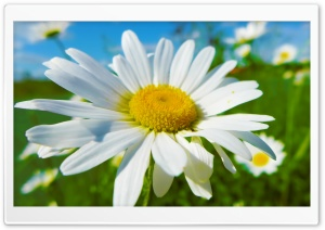 Daisy HD Wide Wallpaper for Widescreen