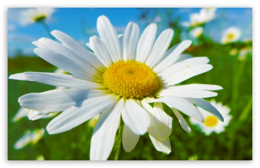 Daisy HD wallpaper for Wide 16:10 5:3 Widescreen WHXGA WQXGA WUXGA WXGA WGA ; HD 16:9 High Definition WQHD QWXGA 1080p 900p 720p QHD nHD ; UHD 16:9 WQHD QWXGA 1080p 900p 720p QHD nHD ; Standard 4:3 5:4 3:2 Fullscreen UXGA XGA SVGA QSXGA SXGA DVGA HVGA HQVGA devices ( Apple PowerBook G4 iPhone 4 3G 3GS iPod Touch ) ; Tablet 1:1 ; iPad 1/2/Mini ; Mobile 4:3 5:3 3:2 16:9 5:4 - UXGA XGA SVGA WGA DVGA HVGA HQVGA devices ( Apple PowerBook G4 iPhone 4 3G 3GS iPod Touch ) WQHD QWXGA 1080p 900p 720p QHD nHD QSXGA SXGA ;
