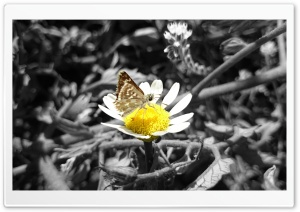Daisy and Butterfly HD Wide Wallpaper for Widescreen