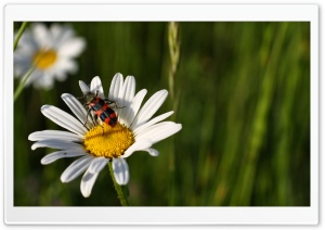 Daisy And Insect HD Wide Wallpaper for Widescreen