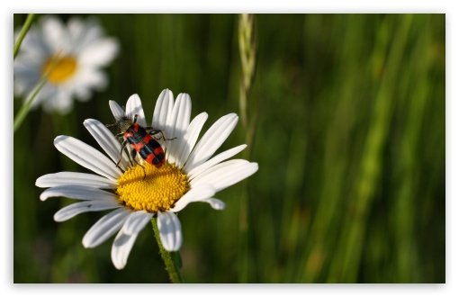 Daisy And Insect HD wallpaper for Wide 16:10 5:3 Widescreen WHXGA WQXGA WUXGA WXGA WGA ; HD 16:9 High Definition WQHD QWXGA 1080p 900p 720p QHD nHD ; Standard 4:3 5:4 3:2 Fullscreen UXGA XGA SVGA QSXGA SXGA DVGA HVGA HQVGA devices ( Apple PowerBook G4 iPhone 4 3G 3GS iPod Touch ) ; Tablet 1:1 ; iPad 1/2/Mini ; Mobile 4:3 5:3 3:2 16:9 5:4 - UXGA XGA SVGA WGA DVGA HVGA HQVGA devices ( Apple PowerBook G4 iPhone 4 3G 3GS iPod Touch ) WQHD QWXGA 1080p 900p 720p QHD nHD QSXGA SXGA ; Dual 16:10 5:3 16:9 4:3 5:4 WHXGA WQXGA WUXGA WXGA WGA WQHD QWXGA 1080p 900p 720p QHD nHD UXGA XGA SVGA QSXGA SXGA ;