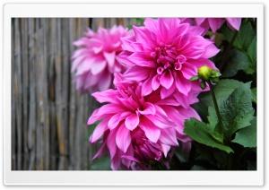 Daisy Be HD Wide Wallpaper for 4K UHD Widescreen desktop & smartphone