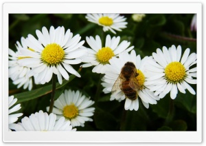 Daisy Bee HD Wide Wallpaper for Widescreen