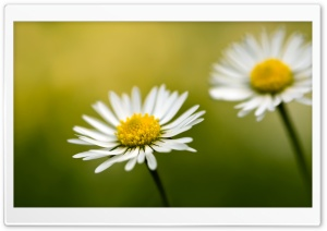 Daisy Bokeh HD Wide Wallpaper for Widescreen