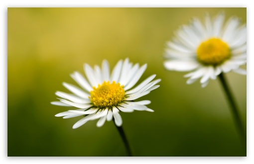 Daisy Bokeh ❤ 4K UHD Wallpaper for Wide 16:10 5:3 Widescreen WHXGA WQXGA WUXGA WXGA WGA ; 4K UHD 16:9 Ultra High Definition 2160p 1440p 1080p 900p 720p ; Standard 4:3 5:4 3:2 Fullscreen UXGA XGA SVGA QSXGA SXGA DVGA HVGA HQVGA ( Apple PowerBook G4 iPhone 4 3G 3GS iPod Touch ) ; Tablet 1:1 ; iPad 1/2/Mini ; Mobile 4:3 5:3 3:2 16:9 5:4 - UXGA XGA SVGA WGA DVGA HVGA HQVGA ( Apple PowerBook G4 iPhone 4 3G 3GS iPod Touch ) 2160p 1440p 1080p 900p 720p QSXGA SXGA ; Dual 4:3 5:4 UXGA XGA SVGA QSXGA SXGA ;
