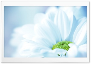 Daisy Close Up HD Wide Wallpaper for Widescreen