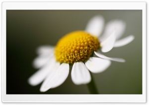 Daisy Flower Macro HD Wide Wallpaper for Widescreen