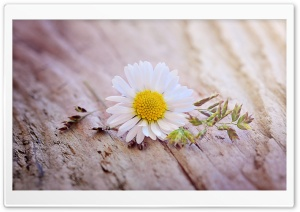 Daisy Flower On A Wooden Table Ultra HD Wallpaper for 4K UHD Widescreen desktop, tablet & smartphone