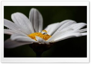 Daisy Flower With Water Droplet HD Wide Wallpaper for Widescreen
