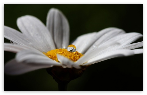 Daisy Flower With Water Droplet ❤ 4K UHD Wallpaper for Wide 16:10 5:3 Widescreen WHXGA WQXGA WUXGA WXGA WGA ; 4K UHD 16:9 Ultra High Definition 2160p 1440p 1080p 900p 720p ; Standard 3:2 Fullscreen DVGA HVGA HQVGA ( Apple PowerBook G4 iPhone 4 3G 3GS iPod Touch ) ; Mobile 5:3 3:2 16:9 - WGA DVGA HVGA HQVGA ( Apple PowerBook G4 iPhone 4 3G 3GS iPod Touch ) 2160p 1440p 1080p 900p 720p ;
