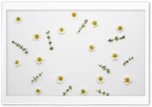 Daisy Flowers and Thyme Herb HD Wide Wallpaper for Widescreen