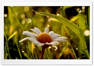 Daisy In Rain HD Wide Wallpaper for 4K UHD Widescreen desktop & smartphone