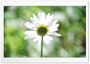 Daisy In The Sun HD Wide Wallpaper for Widescreen