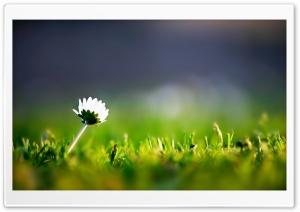 Daisy Macro HD Wide Wallpaper for Widescreen