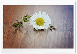 Daisy Macro HD Wide Wallpaper for Widescreen