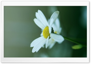 Daisy Petals HD Wide Wallpaper for Widescreen