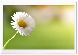 Daisy Super Macro HD Wide Wallpaper for Widescreen