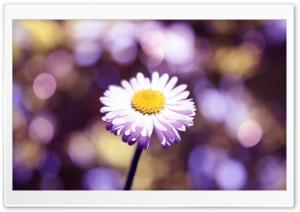 Daisy The Lights Close Up HD Wide Wallpaper for 4K UHD Widescreen desktop & smartphone
