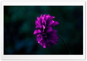 Dalia HD Wide Wallpaper for 4K UHD Widescreen desktop & smartphone