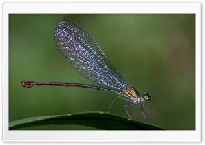 Damselfly HD Wide Wallpaper for Widescreen