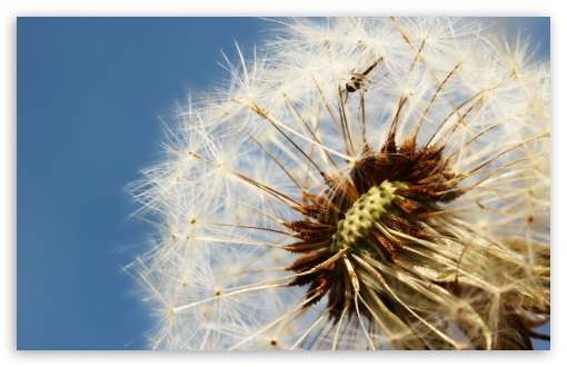 Dandelion ❤ 4K UHD Wallpaper for Wide 16:10 5:3 Widescreen WHXGA WQXGA WUXGA WXGA WGA ; 4K UHD 16:9 Ultra High Definition 2160p 1440p 1080p 900p 720p ; Standard 4:3 5:4 3:2 Fullscreen UXGA XGA SVGA QSXGA SXGA DVGA HVGA HQVGA ( Apple PowerBook G4 iPhone 4 3G 3GS iPod Touch ) ; Tablet 1:1 ; iPad 1/2/Mini ; Mobile 4:3 5:3 3:2 16:9 5:4 - UXGA XGA SVGA WGA DVGA HVGA HQVGA ( Apple PowerBook G4 iPhone 4 3G 3GS iPod Touch ) 2160p 1440p 1080p 900p 720p QSXGA SXGA ;