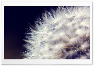 Dandelion 2 HD Wide Wallpaper for Widescreen