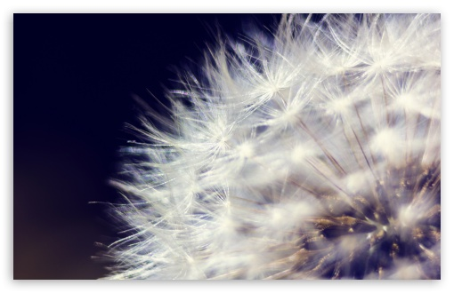 Dandelion 2 ❤ 4K UHD Wallpaper for Wide 16:10 5:3 Widescreen WHXGA WQXGA WUXGA WXGA WGA ; 4K UHD 16:9 Ultra High Definition 2160p 1440p 1080p 900p 720p ; UHD 16:9 2160p 1440p 1080p 900p 720p ; Standard 4:3 5:4 3:2 Fullscreen UXGA XGA SVGA QSXGA SXGA DVGA HVGA HQVGA ( Apple PowerBook G4 iPhone 4 3G 3GS iPod Touch ) ; Tablet 1:1 ; iPad 1/2/Mini ; Mobile 4:3 5:3 3:2 16:9 5:4 - UXGA XGA SVGA WGA DVGA HVGA HQVGA ( Apple PowerBook G4 iPhone 4 3G 3GS iPod Touch ) 2160p 1440p 1080p 900p 720p QSXGA SXGA ;