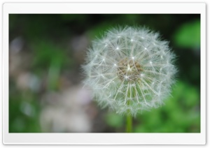 Dandelion HD Wide Wallpaper for 4K UHD Widescreen desktop & smartphone