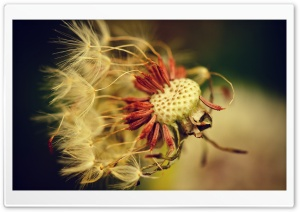 Dandelion HD Wide Wallpaper for Widescreen